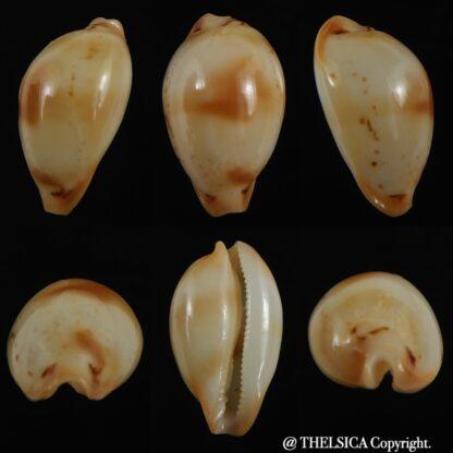 Nesiocypraea midwayensis midwayensis ... 23.94 mm ( Very fresh dead )-0